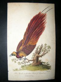 After George Edwards C1800 Hand Col Bird Print. Apoda or Greater Bird of Paradise